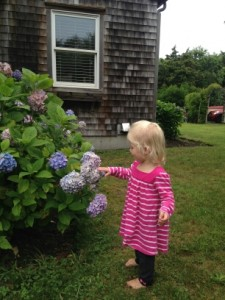 Hydrangea grows like a weed on Nantucket.